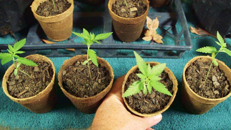 Seeds-Soil-Sun-How-to-Grow-Cannabis-Ep-2-Transplanting-Seedlings-Thumbnai-1l
