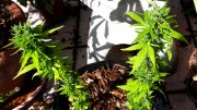 Seeds-Soil–Sun-How-to-Grow-Cannabis-4-Replanting-Autoflower-Vs-Photoperiod-Plants-Thumbnail-1
